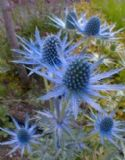 Shelled Warriors Sea Holly 50 seeds - tortoise edible- free postage